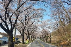 <제천> 청풍호벚꽃개화- 4월8일 다녀왔습니다