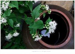 [10월 흰색야생화] 생태계교란식물 서양등골나물(미국등골나물) - 우유중독증