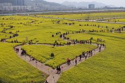 노란 유채꽃의 향연 대저유채꽃 축제장