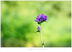 올림픽공원 7월 여름야생화 - 자주꽃방망이.좁쌀풀.꼬리조팝나무.쑥부쟁이.백리향.층층이꽃.도라지꽃.물레나물.뻐국나리.원추리.참나리등