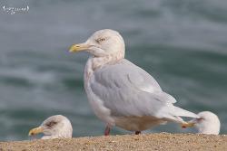 흰갈매기 [Glaucous Gull]