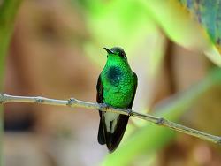 Stripe-tailed Hummingbird, 10cm