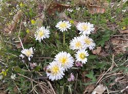 흰민들레 효능,꽃말과 민들레꽃 차 먹는법