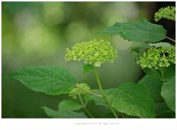 [6월 흰꽃나무] 미국수국 아나벨리(애나벨,안나벨)수국