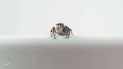 깡총거미 털보( Jumping Spider )가 찾아왔다?