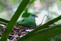Coroneted Fruit-Dove, 18-19cm [Endemic]