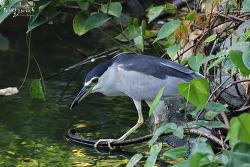 해오라기 [Black-crowned Night Heron]