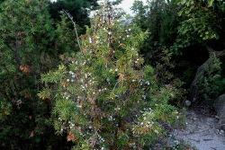 노간주(老松) 나무