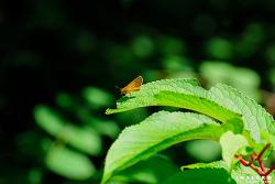 줄꼬마팔랑나비