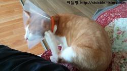 수컷고양이 중성화수술 다음날! 넥카라 적응기