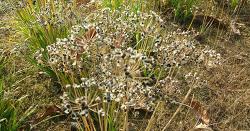 부추 씨앗받기(종자채종)