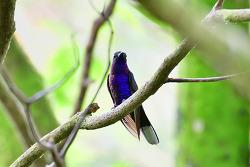 Violet Sabrewing, 15cm