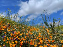 캘리포니아 여행 명소, 캘리포니아 봄 명소 Poppy Fields in Lake Elsinore