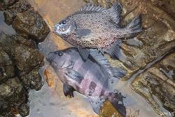 서로 다른 두 생선이 교배하면 생기는 일(돌돔, 강담돔의 교잡종)