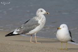 줄무늬노랑발갈매기 [Lesser Black-backed Gull]
