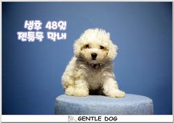 [인천 청라 가위컷 전문 젠틀독] 젠틀독 막내 아기비숑 6마리 소식이에요~♡