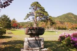 보은 속리산 랜드마크 법주사 정이품송 천연기념물 제103호