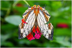 돌담무늬나비 (가평 자라섬 이화원 나비스토리/라오와 60mm)