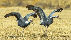 4K UHD로 보는 철원의 재두루미 이색적인 장면^^white-naped crane