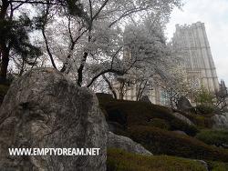 경희대 벚꽃 구경 - 미대, 본관, 평화의전당 산책코스