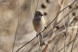 긴꼬리홍양진이 [Long-tailed Rosefinch]