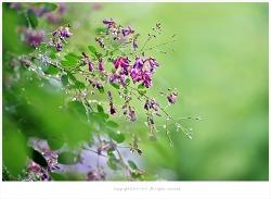 [7월 자주색꽃나무] 물방울 맺힌 싸리나무꽃 - 올림픽공원야생화