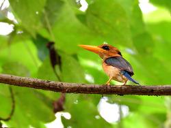Yellow-billed Kingfisher, 18-20cm
