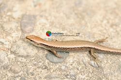 Scincella vandenburghi (Schmidt, 1927) 도마뱀
