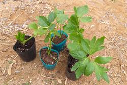 신선초 재배[모종심기(정식,아주심기),심는방법,수확시기]