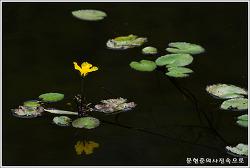 충남 아산 노랑어리연