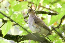 White-tipped Dove, 28cm