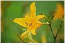 [7월 노란색야생화] 골잎원추리 - 한국특산종