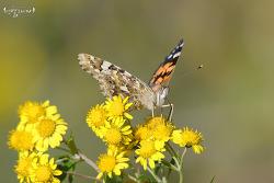작은멋쟁이나비 [painted lady butterfly]