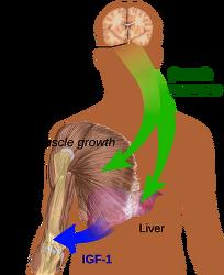 인간성장호르몬(HGH)과 성장판 그리고 키성장의 관계, 인간성장호르몬 부작용
