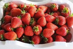 논산 딸기축제 - 딸기 수확 체험하고 벚꽃 보고, 일석이조 체험하러 가자.