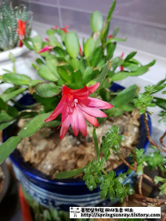 추운겨울 피어난 개발선인장꽃