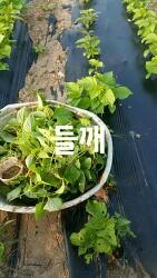 직접 재배한 국산 유기농 들깨 효능