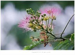 [7월 분홍색꽃나무] 부부금실을 상징하는 자귀나무(소밥나무.여설수.합환수.야합수)꽃