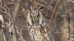 잠자는 칡부엉이 ( Long-eared Owl ) 버드나무와 갈대사이로 만나다.