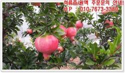 미녀의 과일 석류~ 무농약 고흥석류를 진한 석류즙으로 만나보세요^^