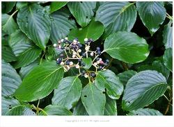 층층나무(물깨금나무)열매.뿌리.줄기.수액 효능 - 강장작용.이뇨작용.소염작용/종기.악창.중풍.신경통.통증.간질환.위장병/약용식물