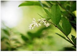 [5월 흰색꽃나무] 진한 향기 쥐똥나무꽃 이야기