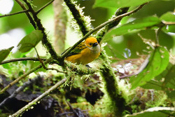 Silver-throated Tanager, 13cm