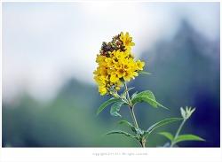 [7월 노란색야생화] 좁쌀풀(황련화.가는좁쌀풀) - 여름야생화