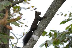 청설모 [Eurasian Red Squirrel]