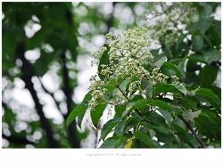 쉬나무(소동나무.수유나무.쇠동백나무)씨앗 효능 - 지방간.당뇨병.구충제.피부병치료제.토사곽란/약용식물