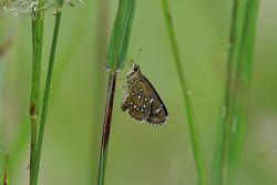 지리산팔랑나비