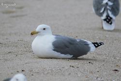 Mystery Gulls (Caspian Gull) ?  2