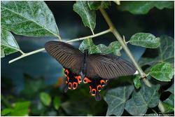 남방제비나비 암컷