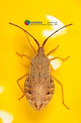 Homoeocerus dilatatus 넓적배허리노린재